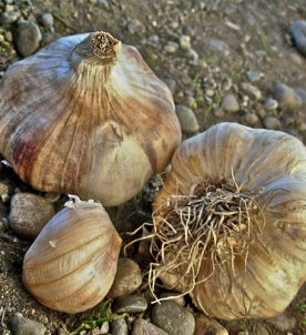 Turban type garlic