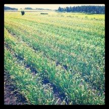Fields of garlic