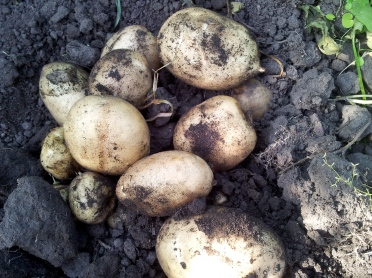 Taters!