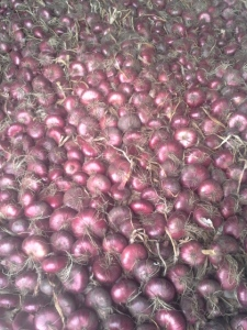 Red cippolini onions curing for storage.
